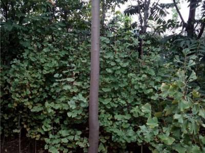 3公分香椿树