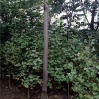 5公分香椿树