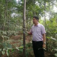 8公分香椿树
