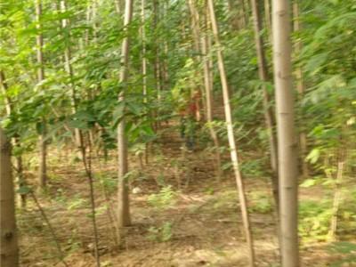 10公分香椿树