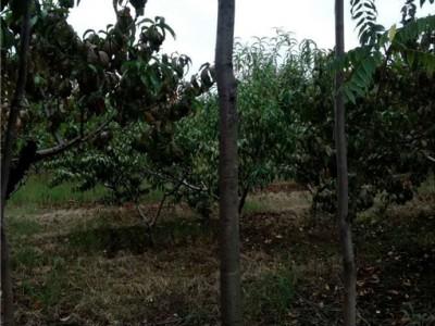 香椿工程树
