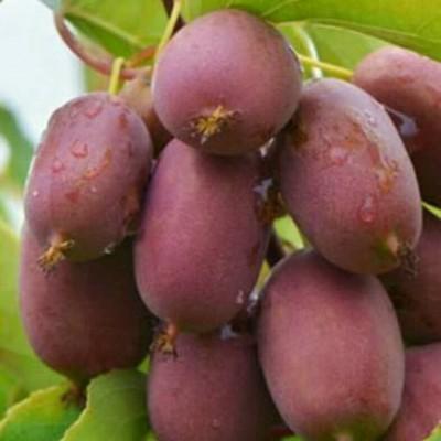 软枣奇异莓结果状
