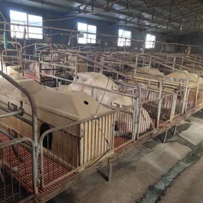 新泰养猪基地